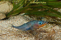 1S30-539z  Male Threespine Stickleback,  Mating colors showing bright red belly and blue eyes, gluing nest together with secretions from kidneys, Gasterosteus aculeatus,  Hotel Lake British Columbia