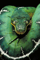 An emerald boa constrictor, close-up. reptiles.