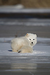 Arctic fox (Alopex lagopus) lying on the ice