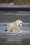 Arctic fox (Alopex lagopus) lying on the ice