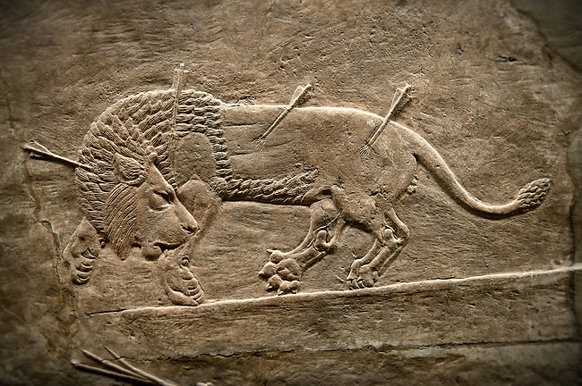 Assyrian relief sculpture panel `from the  lion hunt showing a dying lion.  From Nineveh  North Palace, Iraq,  668-627 B.C.  British Museum Assyrian  Archaeological exhibit no ME 124857
