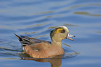 American Wigeon drake (Anas americana).  Pacific Northwest.