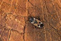 Gemeine Bodenwanze, Bodenwanze, Rhyparochromus vulgaris, Bodenwanzen, Langwanzen, Lygaeidae, milkweed bug, seed bug, milkweed bugs, seed bugs