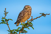 A Burrowing Owl, Athene cunicularia, perches in a tree in Zanjero Park, Gilbert, Arizona
