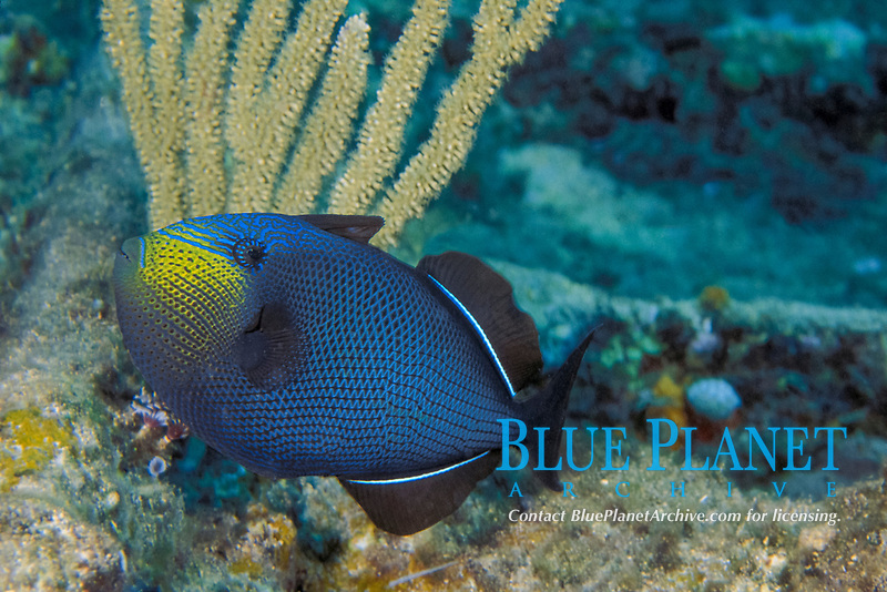 black durgon or black triggerfish, Melichthys niger, in courting colors, Bahamas (Western Atlantic) fish normally appears black, but intense color patterns appear during courtship, Caribbean, Atlantic