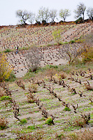 Domaine Grand Guilhem. In Cascastel-des-Corbieres. Fitou. Languedoc. Vines trained in Gobelet pruning. The vineyard. France. Europe.