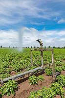 Irrigating potatoes with a rain gun - Lincolnshire, June