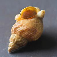Europe/France/Basse-Normandie/50/Manche/Granville:  Bulots de la Baie de Granville - Stylisme : Valérie LHOMME //  France, Manche, Granville, whelks Bay Granville Styling Valerie Lhomme
