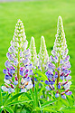Bright purple lupine in field with bright green leaves