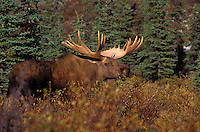 "BULL MOOSE (Alces alces). The name 'moose"" is derived from the Algonkian name that means ""eater of twigs"". Autumn. Denali National Park, Alaska."