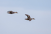 Gray Teal (Anas gracilis gracilis), pair in flight over the New River Estuary, Invercargill, Southland, New Zealand.