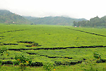 Tea plantations carpet the mountainous countryside, Northwest Rwanda....