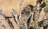 Curve-billed Thrasher, Toxostoma curvirostre, perches in a Cholla cactus in Dreamy Draw Park, part of the Phoenix Mountains Preserve near Phoenix, Arizona