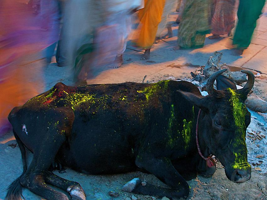 Holy Cow and Street scenes during Holi Festival Varanasi India,