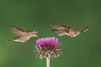 Broad-tailed Hummingbird, Selasphorus platycercus, females in flight feeding on Musk Thistle (Carduus nutans),Rocky Mountain National Park, Colorado, USA, June 2007
