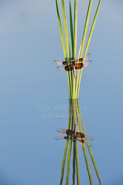 Widow Skimmer (Libellula luctuosa), male perched on cattail, Dinero, Lake Corpus Christi, South Texas, USA