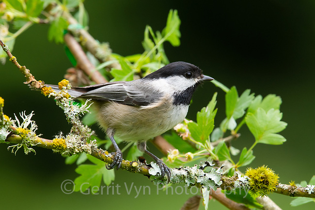Black-capped Chickadee (Poecile atricapillus). Oregon. May.