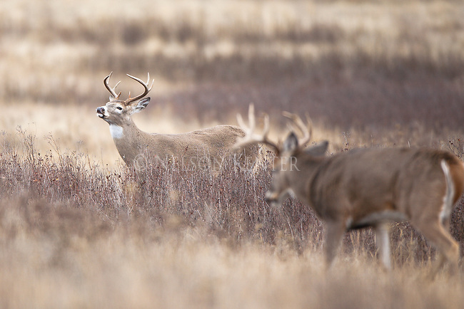Large whitetail buck approaching a smaller buck during the fall rut
