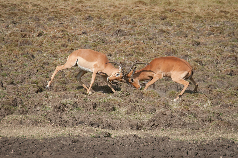 """Male impalas regularly engage in mock fights, accompanied by grunts, snorts and """"barks"""". During rutting season the males fight often to protect their territories. It is not uncommon to find males with harems  numbering twenty or more during this time."""