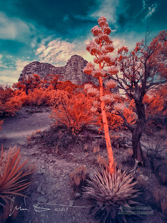 Century Plant and Courthouse Butte (Infrared) ©2017 James D Peterson.  This image was captured along the Courthouse Loop Trail near Sedona, Arizona. Century plants (a type of agave) bloom in the late spring.  They are very popular among hummingbirds, but only flower once in their lifetime.  They die immediately after dispersing their seeds.