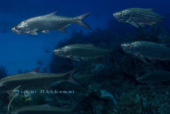 Tarpon, Megalops, Cuba Underwater, Jardines de la Reina, Protected Marine park underwater