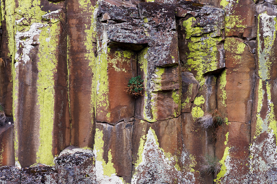 Yellow and white lichen growing on columnar basalt rock cliffs, John Day River, central Oregon desert, USA