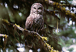 Great grey owl, Oregon