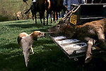 Quantock Staghounds 1990s UK, Somerset & Exmoor Devon. The  culled deer is loaded into a Land Rover and taken to a local farm where it is disembowelled 1997 UK