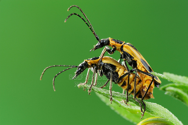 Soldier beetles (Cantharidae), mating on Cowpen Daisy, Golden Crownbeard (Verbesina encelioides), Laredo, Webb County, South Texas, USA