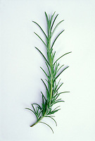 Rosemary herb sprig picked cut, on white background, Rosmarinus officinalis