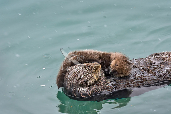 Sea Otter (Enhydra lutris) mom with very young pup sleeping in sheltered bay on Prince William Sound, Alaska.  Spring.
