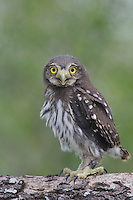 Ferruginous Pygmy-Owl, Glaucidium brasilianum, young newly fledged, Willacy County, Rio Grande Valley, Texas, USA, June 2006