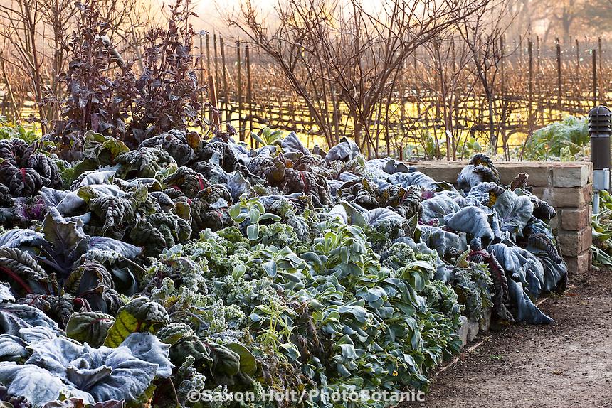 Frosty morning in LynMar Winery edible winter garden