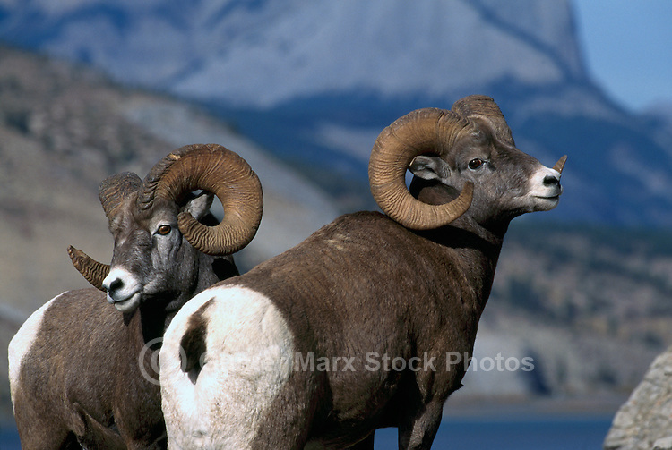 Two Rocky Mountain Bighorn Sheep Rams (Ovis canadensis), Jasper National Park, Canadian Rockies, AB, Alberta, Canada