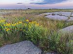Blue Mounds State Park; Minnesota:<br /> Prairie sunflower (Helianthus petiolaris) flowers among outcropings of Sioux quartzite in a tallgrass prairie under an evening sky