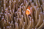 Dumaguete, Dauin, Negros Oriental, Philippines; a false clown anemonefish in an anemone