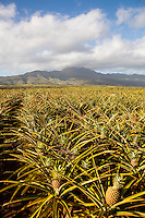 Pineapples in field with Mt. Ka'ala in background, North Shore, O'ahu