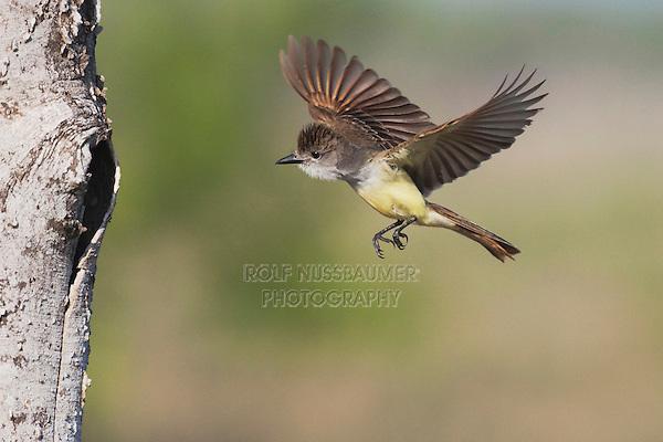 Brown-crested Flycatcher (Myiarchus tyrannulus), adult in flight with prey, Sinton, Corpus Christi, Coastal Bend, Texas, USA