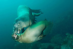 Sea of Cortez, Baja California, Mexico; a pair of California Sea Lions (Zalophus californianus) play fight with eachother underwater