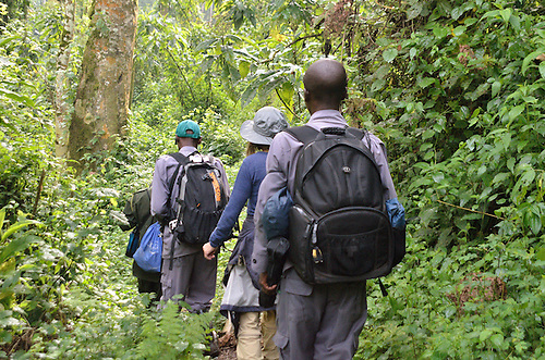 Gorilla Trekking, Bwindi, Uganda.  A  early morning group on the path to find an habituated gorilla family in Bwindi Impenetrable Forest, Uganda.  The team includes Ugandan Wildlife guides experienced in tracking the gorilla family, two porters, and an armed guard.