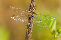 310880009 a wild male dot-winged baskettail dragonfly epitheca tetragoneuria petechialis near caddo lake in marion county texas