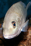 Gray Snapper facing 45 degrees to camera, vertical