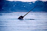 narwhals, Monodon monoceros, Northwest Territories, Canada, Arctic Ocean
