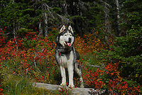 Lakota Sunrise at Clayton Lake in the Flathead National Forest photos of siberian huskies, husky photos, pictures of siberian huskies, best photos of huskies, best photos of siberian huskies