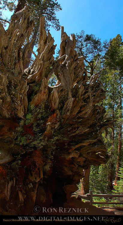 Fallen Monarch Roots, Giant Sequoia, Sequoiadendron giganteum, Mariposa Grove of Giant Sequoias, Yosemite National Park