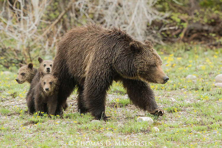 Grizzly 399's and her three cubs in Grand Teton National Park, Wyoming.