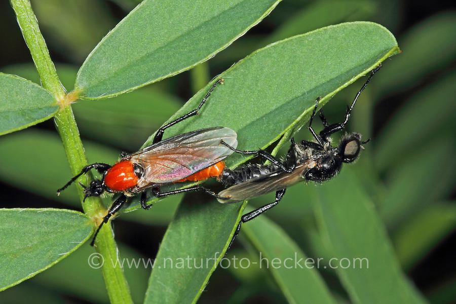 Gartenhaarmücke, Garten-Haarmücke, Paarung, Pärchen, Kopulation, Kopula, Bibio hortulanus, marchfly, pairing, Haarmücken, Bibionidae, marchflies
