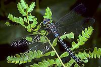 1O06-012d  Black-tipped Mosaic Darner Dragonfly Male - Aeshna tuberculifera