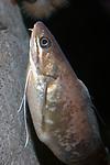 red hake swimming against deep ocean boulder vertically