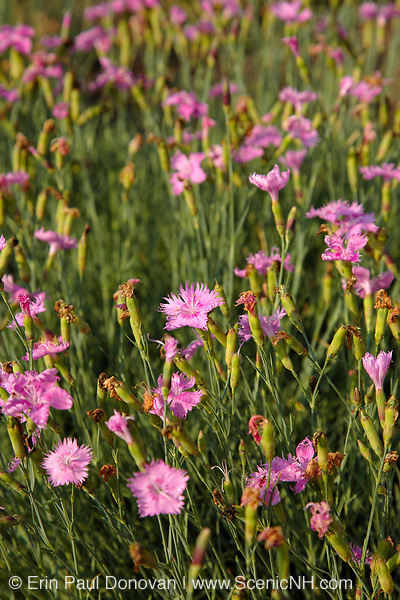 Pink Dianthus plumarius flower during the summer months in New England